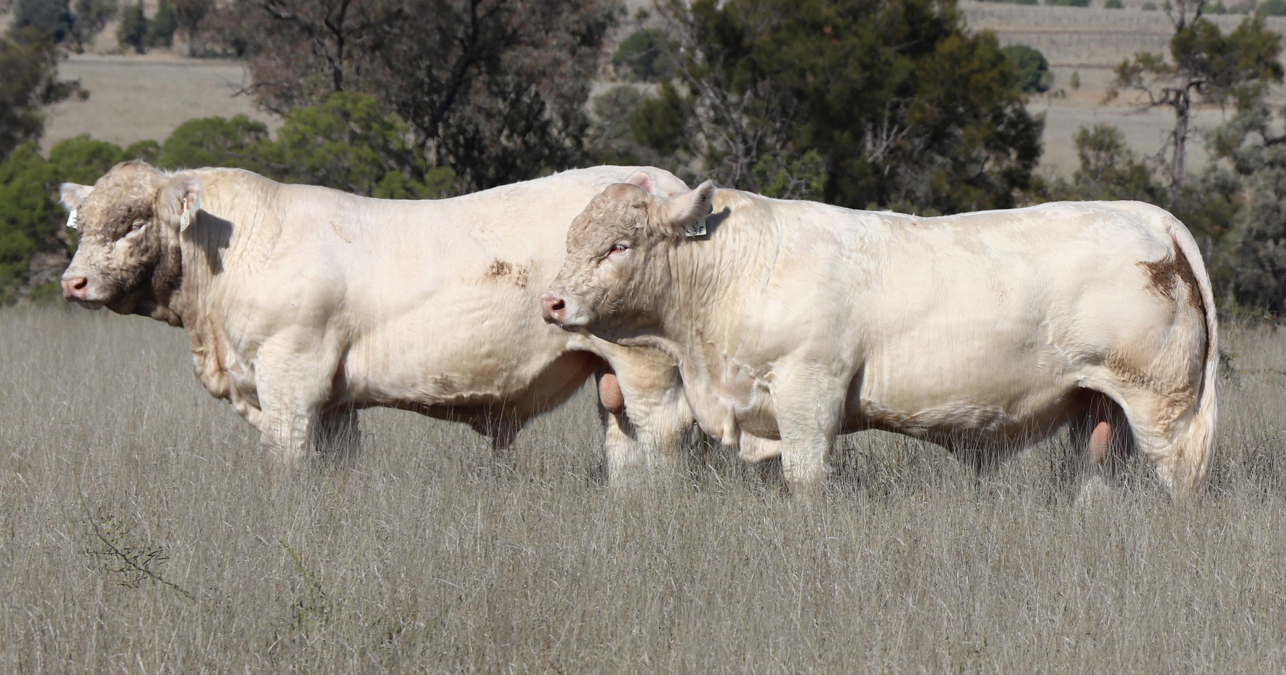 ANC Charolais Bull Sale