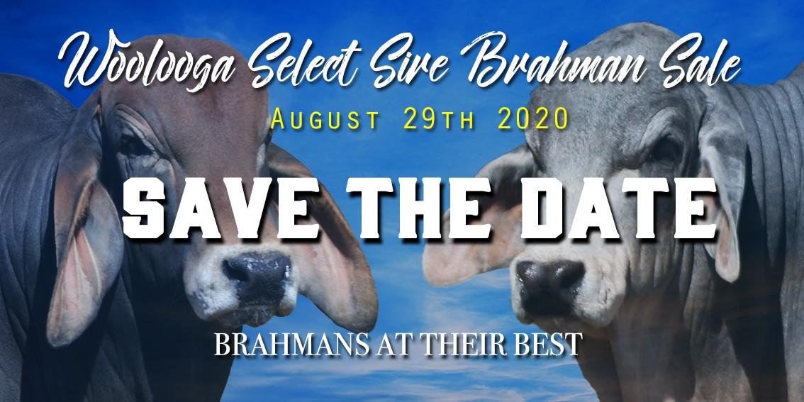 Woolooga Select Sire Brahman Bull Sale