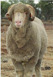 Terrick Merino Ram Auction