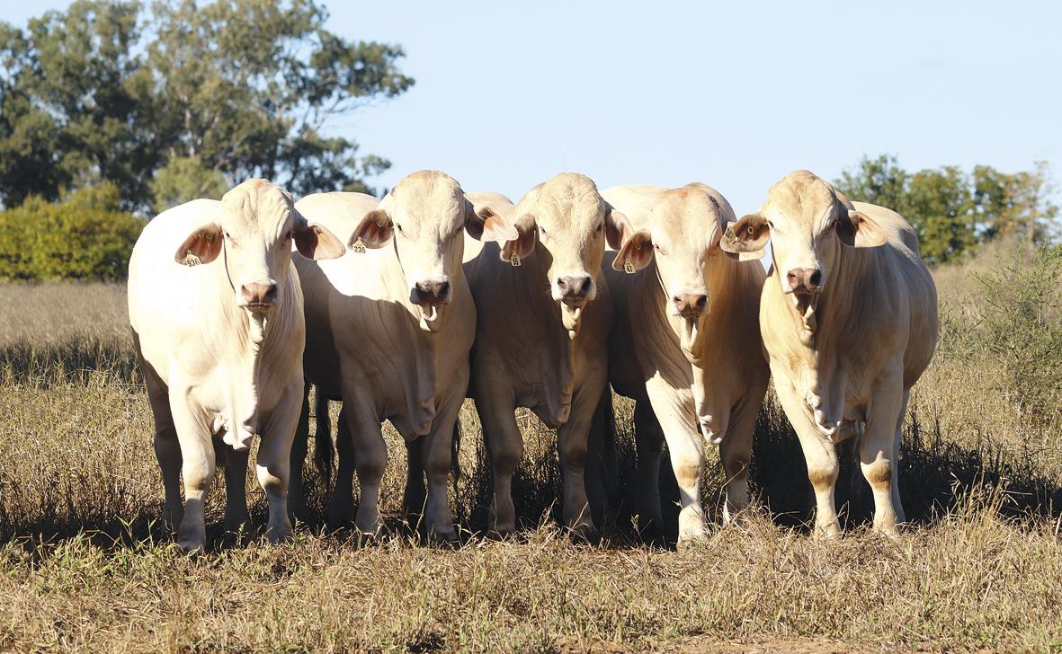 National Charbray Bull & Female Sale