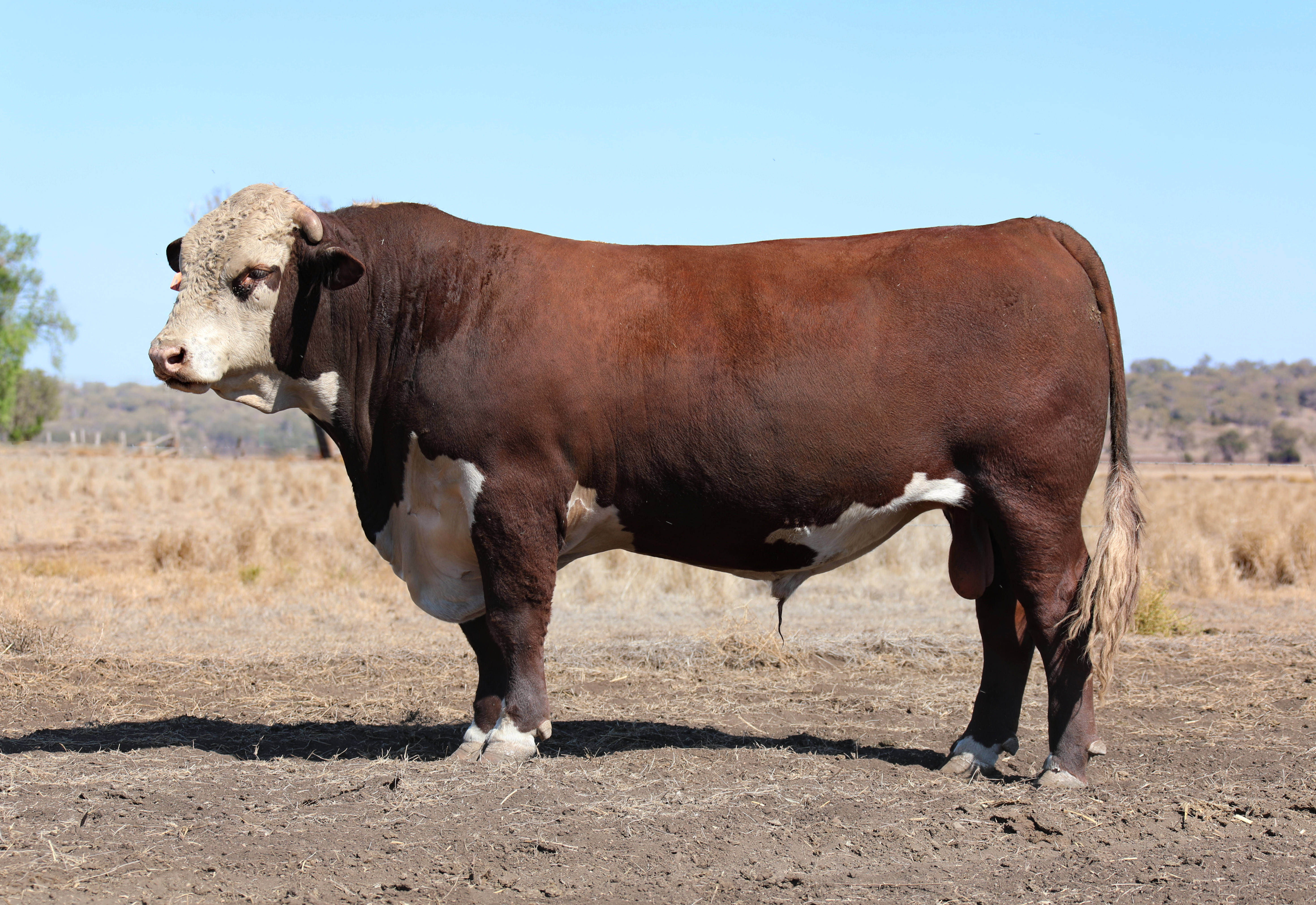 12 HEREFORD AND POLL HEREFORD BULLS