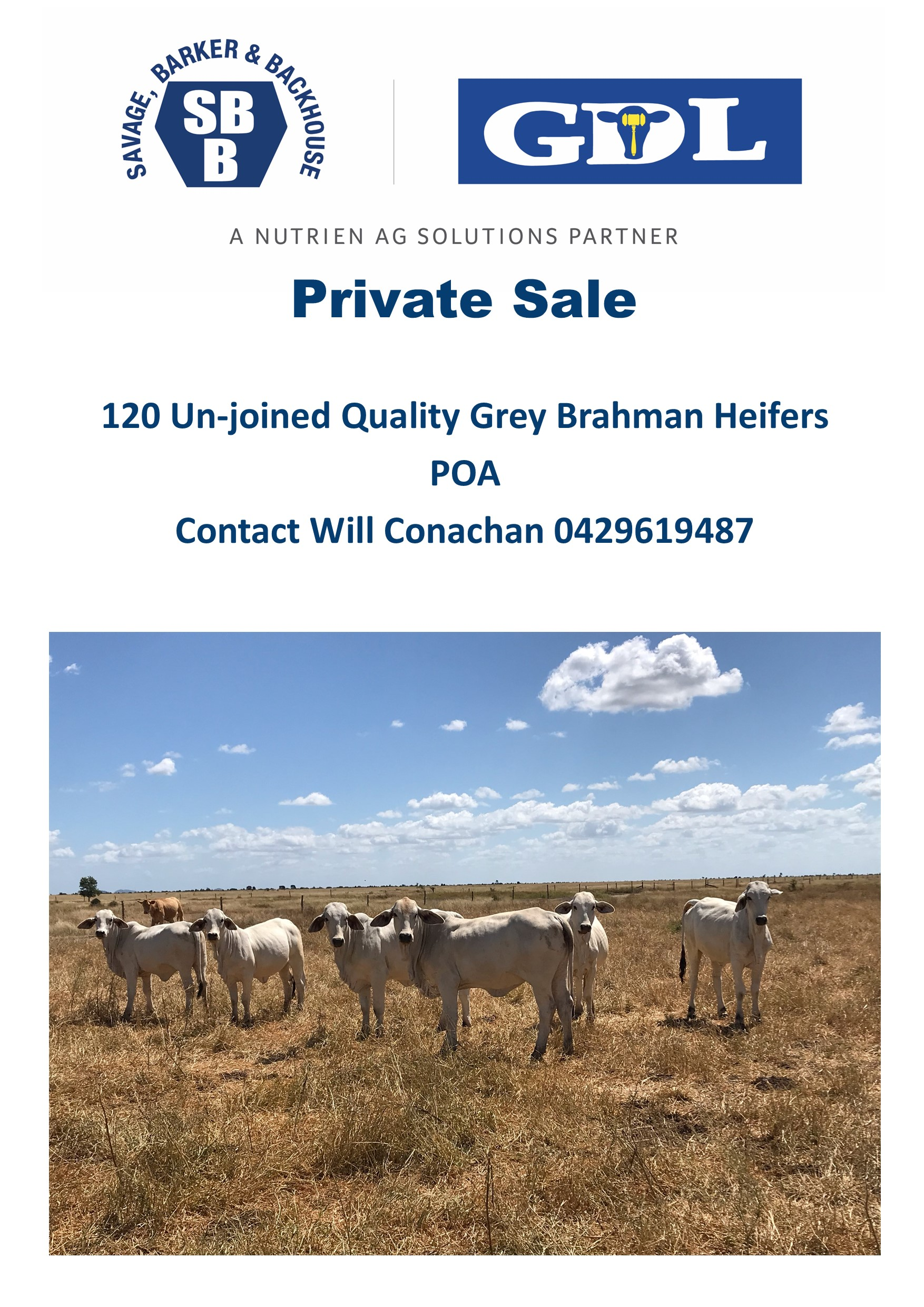 Private Sale – 120 Unjoined Quality Grey Brahman Heifers