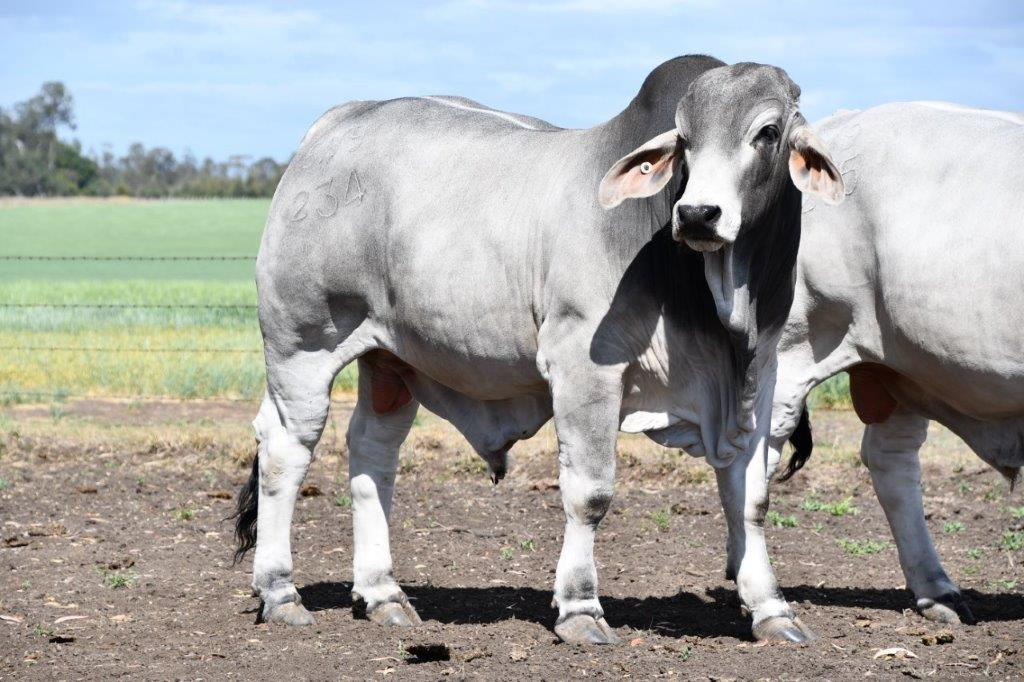Bull 234
