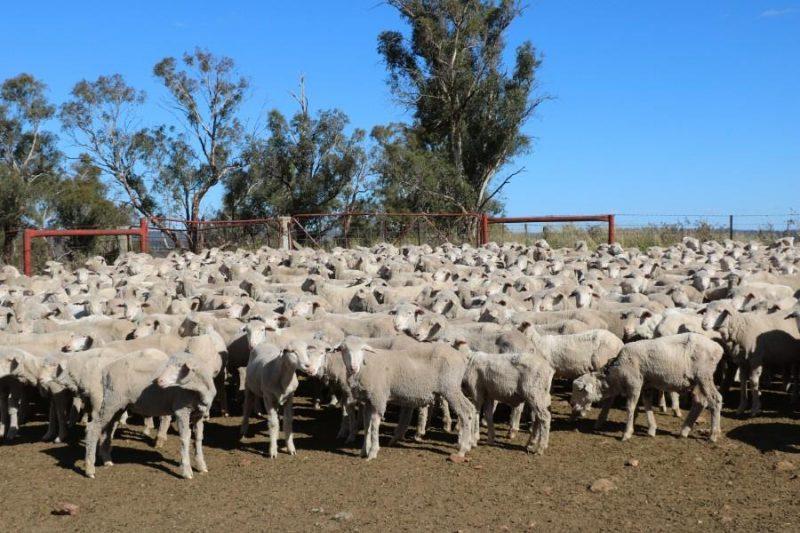 650 Merino Wether Lambs