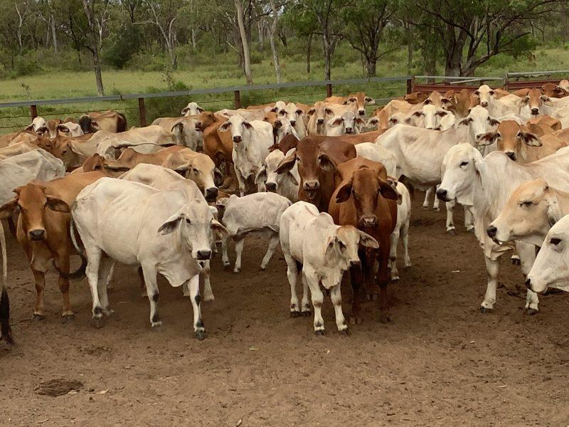 For Sale – 140 Mixed Age Brahman Cows & Calves