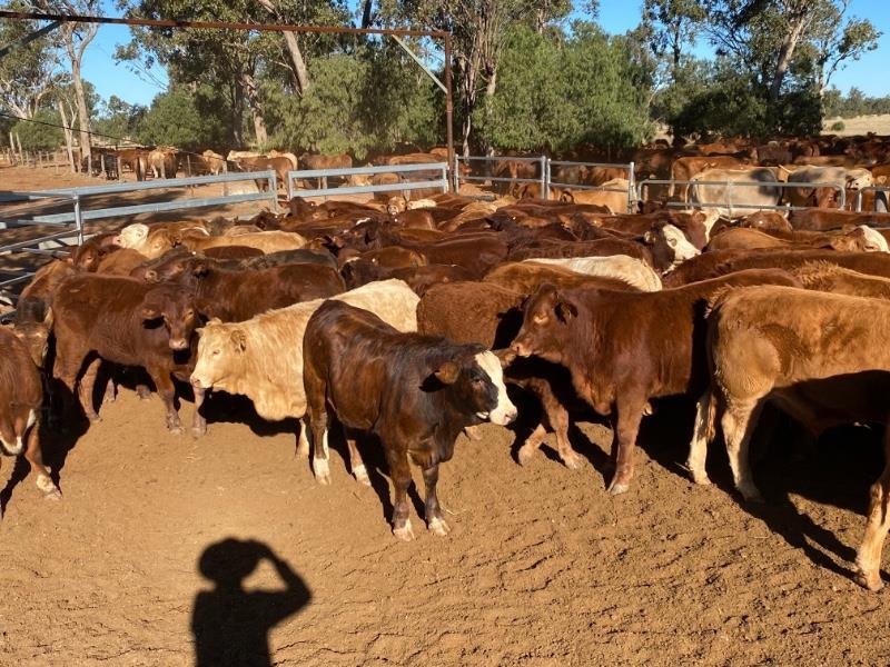 96 Crossbred Steers