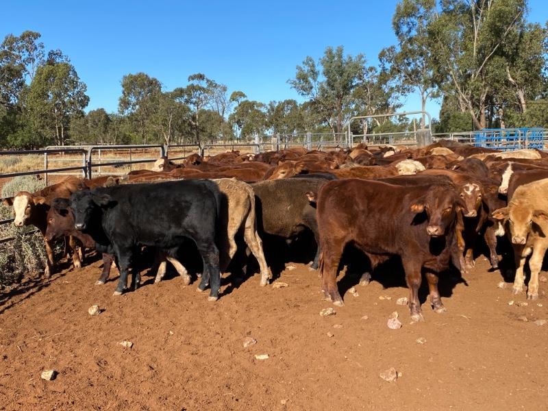 127 Crossbred Steers