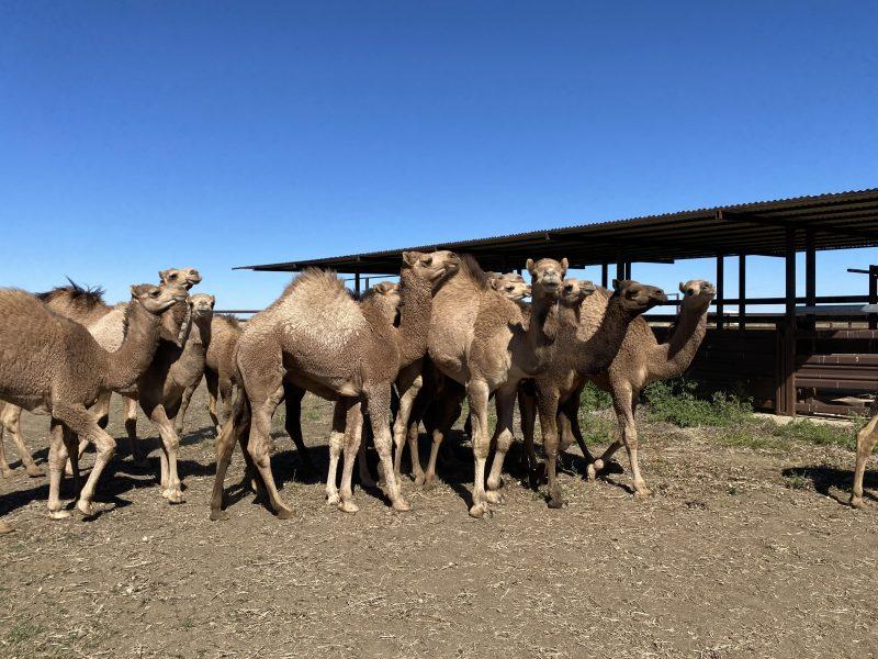111 Camels